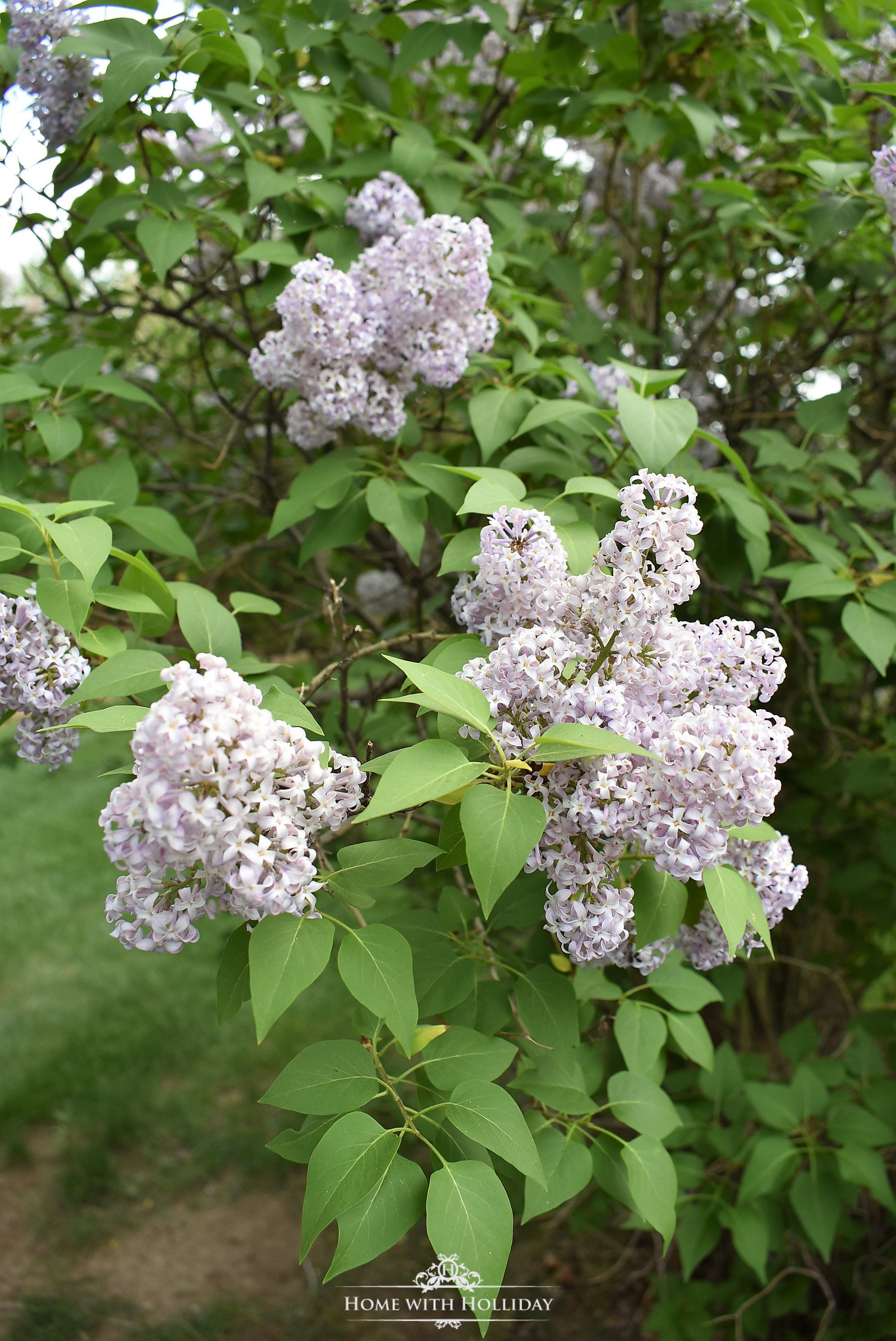 Pruning and Enjoying Lilacs 9