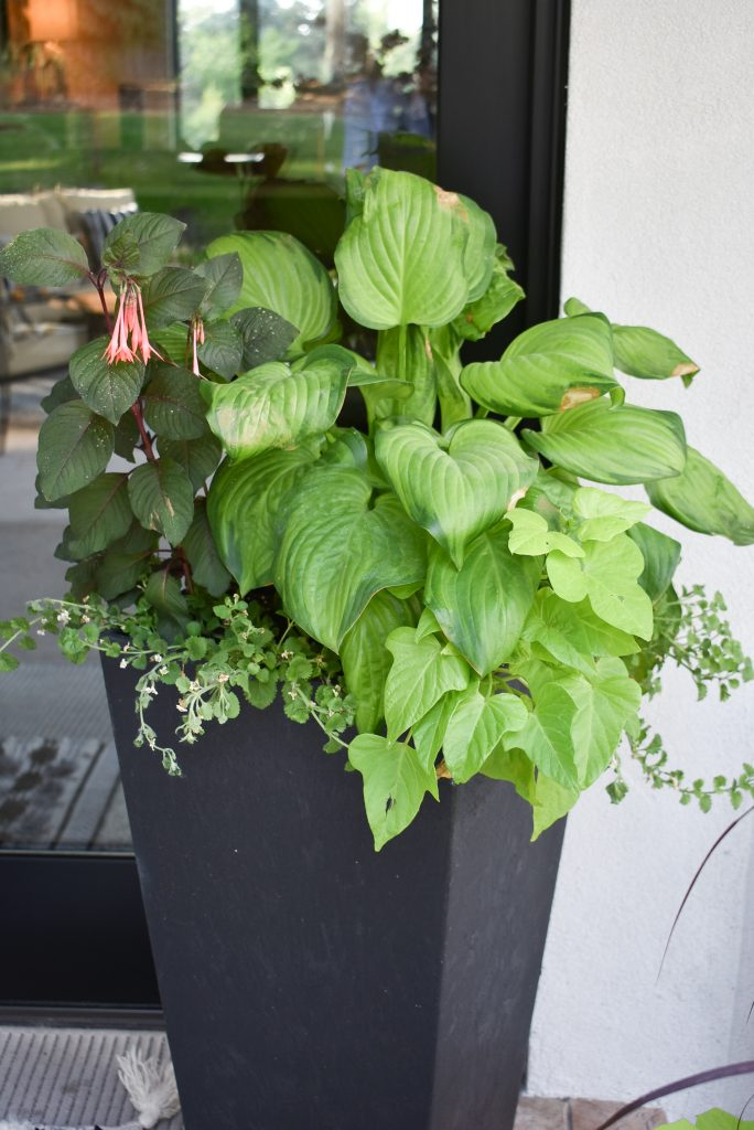 Potted Hosta on a Back Patio
