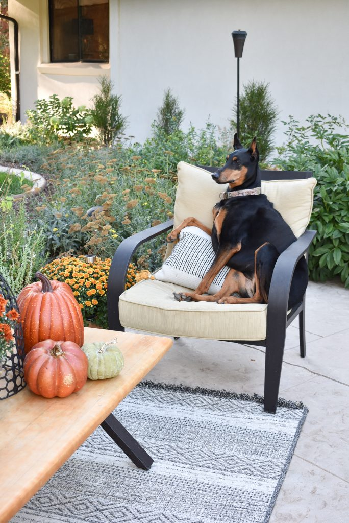 A doberman sitting in a lounge chair on a patio